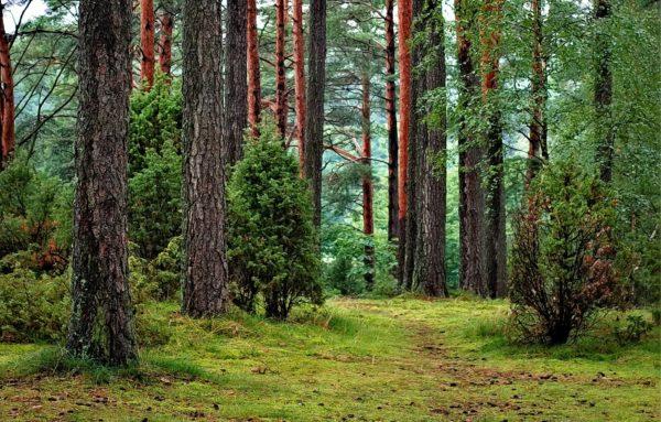 Ein Wald mit vielen Bäumen